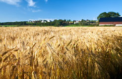 Agriculture ripe rye wheat summer sky blue Royalty Free Stock Photos
