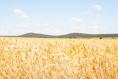 Agriculture. Ripening cereal crop close up with hill and clouds in sky Royalty Free Stock Images