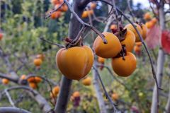 Agriculture. Ripening persimmon hanging on branches close-up in an autumn, overcast day in the mountains royalty free stock image