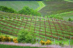 Agriculture rolling hillside of vineyards with rows of red clove Stock Photos
