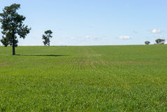 Agriculture. Rows of healthy cereal crop on sloping field with trees and clouds in sky Stock Images