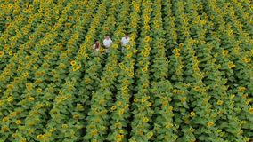 Agriculture scientists with tablet working on sunflower field. Aero Flight. Agriculture scientists with tablet working on sunflower field. Aero Flight stock footage