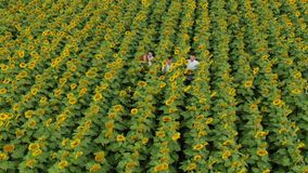 Agriculture scientists with tablet working on sunflower field. Aero Flight. Agriculture scientists with tablet working on sunflower field. Aero Flight stock video