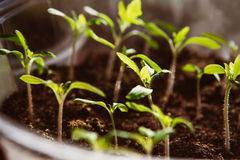 Agriculture, Seeding, Plant seed growing concept Royalty Free Stock Image