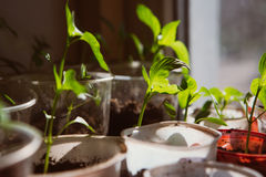Agriculture, Seeding, Plant seed growing concept Royalty Free Stock Photo