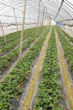 Agriculture shed farm. In China,there are strawberry in it Royalty Free Stock Images