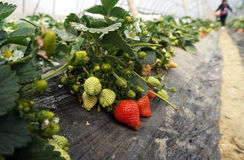 Agriculture shed farm. In China,there are strawberry in it Royalty Free Stock Photography