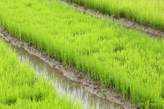 Agriculture of small rice sprout Royalty Free Stock Photo