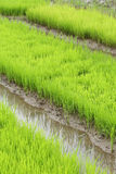 Agriculture of small rice sprout Stock Photography