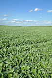 Agriculture, soy field Royalty Free Stock Photography