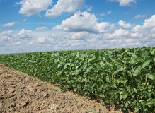 Agriculture, soy field Stock Photography