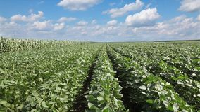 Agriculture, soy field in spring stock footage
