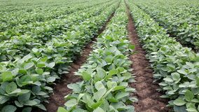 Agriculture soy plant stock video footage