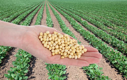 Agriculture, soybean concept Stock Photo