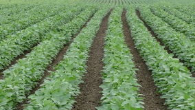 Agriculture,  soybean field in early summer stock video footage