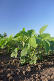 Agriculture, soybean plant Royalty Free Stock Images
