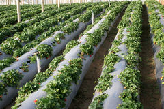 Agriculture-strawberries. Cultivation of strawberries Royalty Free Stock Photography
