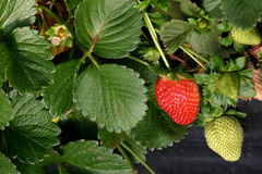 Agriculture-strawberries closeup Stock Photography