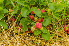 Agriculture - Strawberries Royalty Free Stock Image