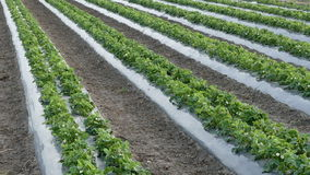 Agriculture, strawberry plants in field stock video footage