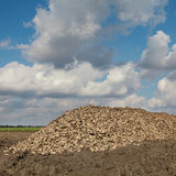 Agriculture, sugar beet, root harvesting in field Stock Image
