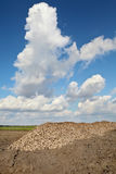 Agriculture, sugar beet, root harvesting in field Royalty Free Stock Photos