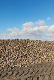 Agriculture, sugar beet, root harvesting in field Stock Photos