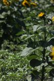 Sunflowers and green leaves, full screen Royalty Free Stock Photography