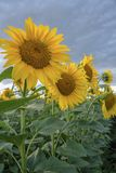 Agriculture. Sunflower field. Sunflower on the field. Agriculture. Field of blooming sunflowers Royalty Free Stock Image