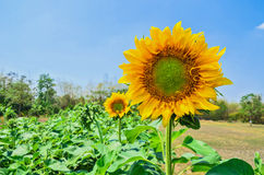 Agriculture  Sunflower field Royalty Free Stock Photos