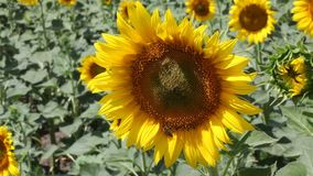 Agriculture sunflower plant stock video footage