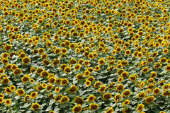 Agriculture, sunflower plant in summer Stock Photos