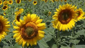 Agriculture sunflower plant stock video