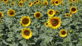 Agriculture sunflower plant stock footage