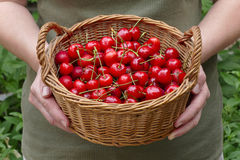 Agriculture, sweet cherry fruit in basket Stock Image