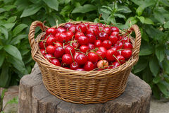 Agriculture, sweet cherry fruit in basket. Agriculture, sweet cherry fruit in a basket at tree trunk stock photos
