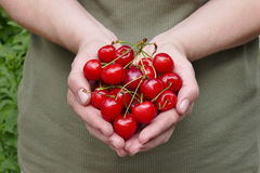 Agriculture, sweet cherry fruit in hands Stock Images