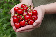 Agriculture, sweet cherry fruit in hands Stock Photos