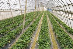Agriculture tent farm Stock Image