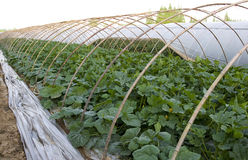 Agriculture tent farm. In China,there are cucumber seedlings in it Royalty Free Stock Photos