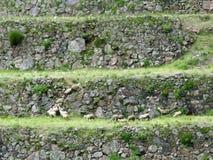 Agriculture terraces of Machu Picchu. Peru. Hill with agriculture terraces and mountain roads stepwise of Machu Picchu in Peru Stock Photos