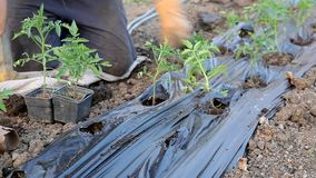 Agriculture, tomato planting stock footage