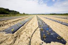 Agriculture végétale intensive avec l'irigation de l'eau Images libres de droits