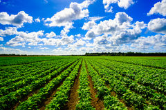 Agriculture vegetable field. Landscape view of a freshly growing agriculture vegetable field royalty free stock photography