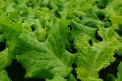 Agriculture verte de laitue Fermez-vous vers le haut de la vue Fond végétal de feuille images stock