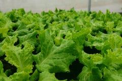 Agriculture verte de laitue Fond végétal de feuille photographie stock