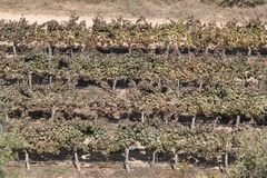 Vineyard. Agriculture view of rows on a vineyard at a valley Royalty Free Stock Image