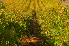 Agriculture, Vineyard, Crop, Field Stock Photos