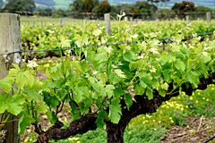 Agriculture, Vineyard, Grapevine Family, Plant Stock Photos