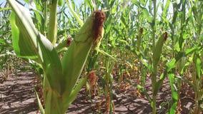 Agriculture visuelle de steadicam de ferme de mouvement de maïs de champ de maïs agriculture Etats-Unis d'herbe verte la ferme de Photographie stock